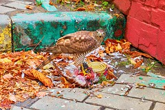 Hungry hawk eating dead crow on Moscow street in day time (ABglavin) Tags: hawk eating prey bird wildlife wild nature raptor eagle falcon tailed eat beak predator animal hunter brown hawks hunting common natural feather redtailed meat eye feathers portrait food wings outdoor life head crow dead street moscow blood tormented disheveled stone asphalt garbage leaves hunger hungry day clutch claw yellow dark summer