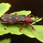 Pretty beetle, Sceloenopla maculata, Chrysomelidae thumbnail