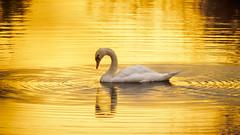 Swimming in liquid gold (Karsten Gieselmann) Tags: 40150mmf28 em5markii farbe gold mzuiko microfourthirds natur olympus schwan sonnenaufgang tiere vögel color golden kgiesel m43 mft nature sunrise teublitz bayern deutschland swan liquidgold