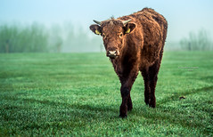 At a crossroads (Ingeborg Ruyken) Tags: ochtend 500pxs spring instagram empel rodegeus cows koe mist dropbox lente fog koeien koornwaard flickr natuurfotografie