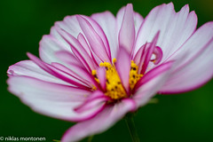 @ Garden (aixcracker) Tags: garden trädgård puutarha porvoo borgå suomi finland medicomat 105mm macro makro flower blomma kukka green grön vihreä nikond800 nikon d800 summer sommar kesä red röd punainen yellow gul keltainen pink ljuröd vaaleanpunainen