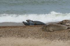 2018_Norfolk_HorseyBeach_Seals_12 (atkiteach) Tags: norfolk uk england horsey horseybeach sea seaside northsea beach seal seals
