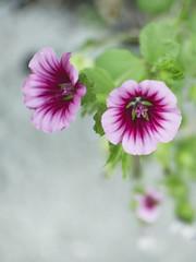 Fleurs de ville (MomoFotografi) Tags: fujian cctv flower bokeh extreme cream creamy