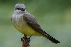 Western Kingbird (Dave Hoedel) Tags: western kingbird nebraska nature bird