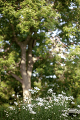 Flowers & Softly Focused Treetops (Miss Marisa Renee) Tags: marisarenee canon canon5dmarkii summer 2018 flowers colorado nature green white july2018 july vertical verticalnature bokeh soft softfocus flower daisy daisies tree shallow shallowdepthoffield broomfield bench pretty