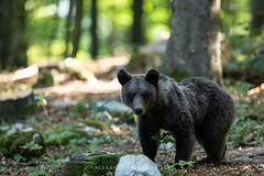 Brown Bear from Slovenia (Waitandshoot - Alexandre & Chloé Bès) Tags: ours bear slovenia slovenie france canon 300mm 28 brown animal wild wildlife nature faune sun forest soleil tree