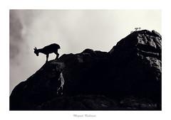 Cabras en el Torcal de antequera (mrubisan) Tags: paisaje montaña torcal de antequera cabras montes málaga nikon d610 tamron 150600 blanco y negro bw sepia