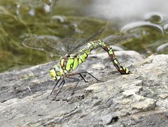Emperor Dragonfly, Blaen Bran Pond, Upper Cwmbran 31 August 2018 (Cold War Warrior) Tags: dragonfly emperor cwmbran blaenbran
