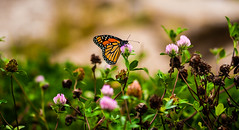 """""""The Mother Lode"""" (satdishguy) Tags: butterflies insects"""