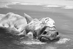 Rhino (Nathalie_Désirée) Tags: rhinoceros animal pachyderm zoo water face mouth bath bathing nostril canoneos600d wilhelmastuttgart tamron70300mm swimmingpool bw mono monochrome bichrome blackandwhite head zoologischbotanischergartenstuttgart germany badenwuerttemberg