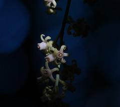 Kohekohe flowers (jpp22) Tags: kohekohe dysoxylumspectabile poriruascenicreserve