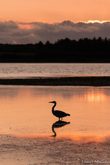 Lady's Island. (Tony Mullen Photography) Tags: ourladysisland ourladysislandwexford ladysisland ladysislandwexford wexfordsunset tonymullenphotography birdphotography avianphotography lakeshore