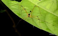 Harvestman, Sibambea rotunda, Cosmetidae (Ecuador Megadiverso) Tags: andreaskay arachnida cranaidae ecuador harvestman id511 opiliones sibambearotunda cosmetidae