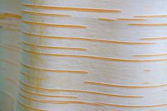 Himalayan Birch bark (timnutt) Tags: pattern northamptonshire bark 35f2wr midlands 35mm fujifilm garden xt2 plant tree gardens fuji cotonmanor minimalist manor white