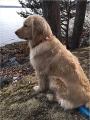 Kallie (Alpen Schatz - Mary Dawn DeBriae) Tags: happy customer alpenschatz bernesemountaindog dog swissdogcolar hunterswisscrosscollar doggles stein