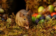 wild garden house mouse with nuts and berries  (7) (Simon Dell Photography) Tags: wild garden house mouse nature animal cute funny fun moss covered log pile acorns nuts berries berrys fuit apple high detail rodent wildlife eye ears door home sheffield ul old english country s12 simon dell photography food tree