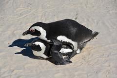 moment de détente !! South Africa _6142 (ichauvel) Tags: manchots pingouins animaux animals afriquedusud southafrica bouldersbeach régionducap capetownprovince afrique africa voyage travel plage beach sable sand exterieur outside étéaustral penguins getty
