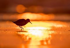 Sunrise Sandpiper (Brian_Harris_Photography) Tags: sunshine sunrise sandpiper bird beach portrait migration wildlife coast atlantic ocean nikon nikkor nature lens light tidal tide shorebird shore water waves
