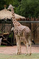 New baby trying to stay dry under mom, Brandy (shutterbugdancer) Tags: africansavanna giraffe reticulatedgiraffe fortworthzoo rainyday laborday