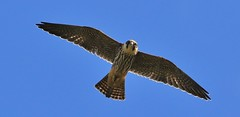 Hobby      (Falco subbuteo) (nick.linda) Tags: hobby falcosubbuteo birdsofprey birdsinflight wildandfree canon7dmkii sigma150600c