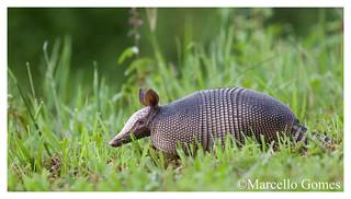 Armadillo (Dasypus novemcinctus) - Hillbilly Speed Bump as a nickname