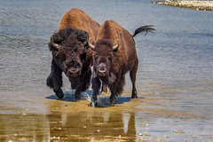 Going my way? (KPortin) Tags: yellowstonenationalpark yellowstoneriver bison reflections