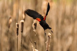 Red-winged Blackbird (Agelaius phoeniceus) Breeding Male