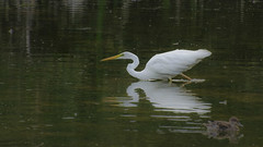 08092018-_DSC6395 (aurelledurand07) Tags: aout2018 baiedesomme marquenterre oiseau stagephoto