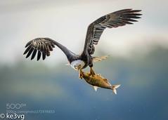 Too large to carry (KevinBJensen) Tags: raptor flight brown pelican bald eagle fishing fish