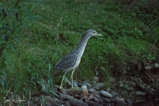 Black-crowned Night Heron-18-14