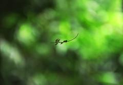 Hanging by a tread (Debmalya Mukherjee) Tags: debmalyamukherjee canon550d 18135 anushaktinagar mumbai flora spider thread hanging leaf bokeh dof