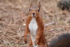Écureuil roux (fauneetnature) Tags: écureuil écureuilroux squirrel animalier animaux animal mammifère