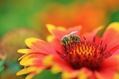 Time of nectar (Nicky@Photography) Tags: nature fleur insecte abeille parc parcdelatêtedor lyon rhône france