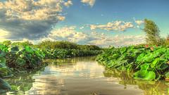 * Giro in baca sul fiume Mincio/ Mantova * (argia world 1) Tags: fiume river mincio mantova cielo sky nuvole riflessi alberi trees fioridiloto foglie leaves lotusflowers