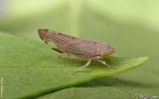 Synophropsis lauri