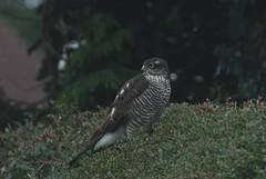 Sparrowhawk (Errols Cuz) Tags: birds sparrowhawk nature wildlife ireland teresaflynn