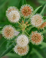 Buttonbrush Honey-bells plant (billcoo) Tags: cephalanthus bokeh occidentalis fujifilm xf80mm flowers macro