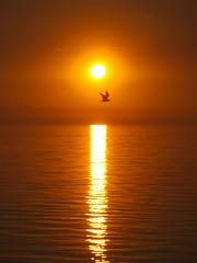 IMG_9362 (giltay) Tags: southamptonontario sunset lakehuron sun lake tamron135mmf28 bird gull