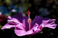 (JonathanMorse) Tags: flower blossom hibiscus pink hawaii