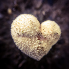 Love mushrooms! 🍄 (Mellisapix) Tags: fruit bloom shroom biology ecology biodiversity fungus mycology love nature heart puffball mushroom fungi wildlife conservation