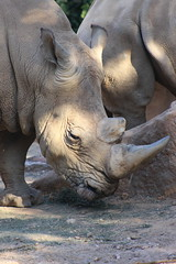 Rhino (Rckr88) Tags: rhino rhinoceros johannesburgzoo southafrica johannesburg zoo south africa animals animal mammals mammal horn horns zoos nature outdoors travel travelling