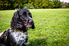 5Dm3_5150 (Graybarf) Tags: dog dogstrust spaniel