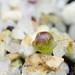 Lithops optica 'Rubra' seedling