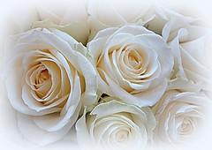Beauty of white roses (majka44) Tags: rose white light macroword nice bouquet romance flower style elegant