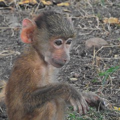 1845e  Hello Big Eyes (jjjj56cp) Tags: baboon baby babybaboon inthewild oldworldmonkey primate closeup kenya africa safari africansafari amboseli oltukai eyes bigeyes furry young p900 jennypansing
