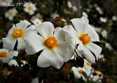 476. SPRING DELIGHT: White & Bright (Meili-PP Hua 2) Tags: flowers petals buds blossoms blooms flora spring trees springflowers yellow whiteflowers macro bright closeup stamens stigmas mlpphflora flower blossom photographypassionsxyz