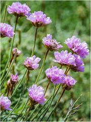 wild flowers ... (miriam ulivi) Tags: miriamulivi nikond7200 france bretagne bretagna fiorispontanei wildflowers armeriaarenaria
