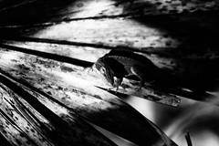 A Curious Lizard (_Lionel_08) Tags: anole lizard louisiana leaf portrait black white monochrome light dark swamp canon rebel