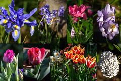 Postcard from Akaroa (Jocey K) Tags: newzealand nikond750 akaroa spring flowers tulips bluebells irs collage postcard