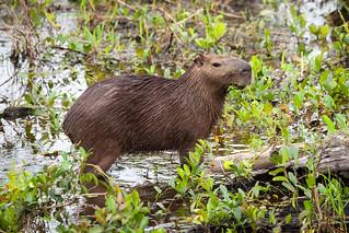 Capybara (Hydrochoerus hydrochaeris)